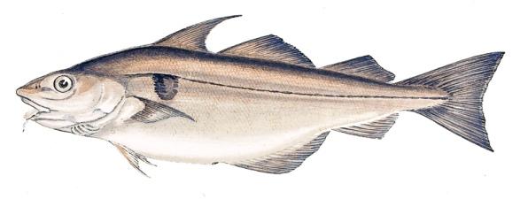 melanogrammus-aeglefinus